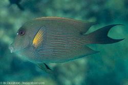 BD-121128-Aqaba-7606-Ctenochaetus-striatus-(Quoy---Gaimard.-1825)-[Striated-surgeonfish].jpg